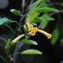 Nicotiana glauca (Tree Nicotiana) (Nicotiana glauca (Don Juan))