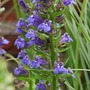 Lobelia siphilitica...Thanks all for the name (Lobelia siphilitica)