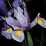 Lilac Iris (I. xiphium x tingitana)