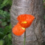 Iceland - Orange (Papaver croceum)