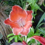 Gladiolus_atom_