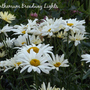 Leucanthemum_broadway_lights