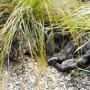 Carex comans (Sedge)