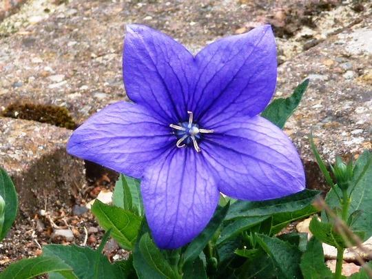 Platycodon  ...  (Platycodon grandiflorus (Balloon Flower))
