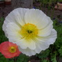 Iceland - White (Papaver croceum)