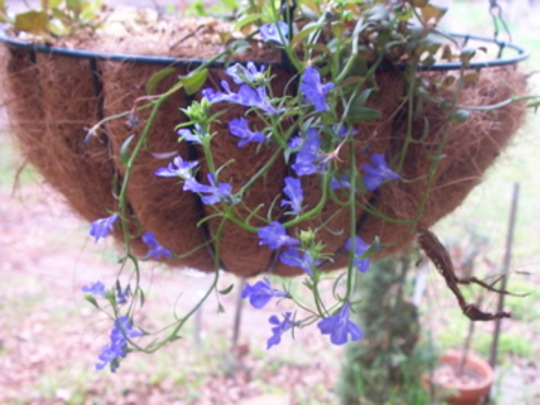 A garden flower photo (Lobelia erinus)