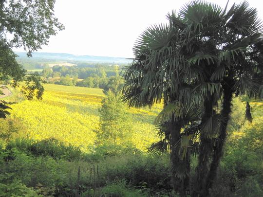 """A """"wild"""" bit of our garden and neighbour's sunflower field (Trachycarpus fortunei (Chusan palm))"""