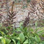 Veratrum nigrum at Osbourne house, Isle of Wight (Veratrum nigrum (Black False Hellebore))
