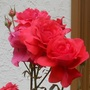 Red_rose1