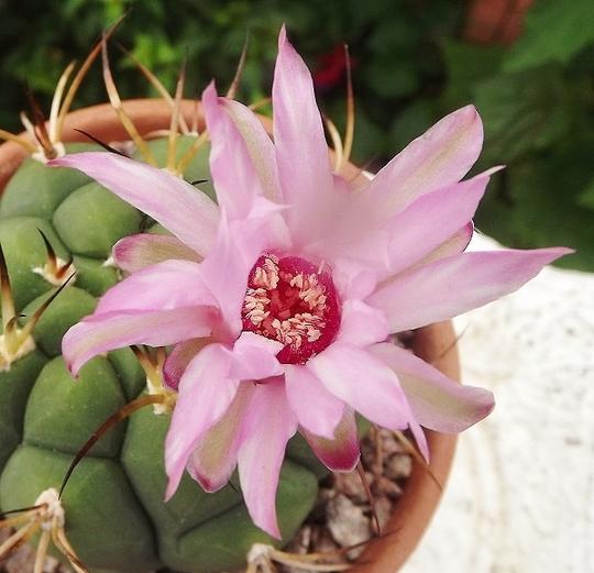Gymnocalycium pflanzii (open flower)
