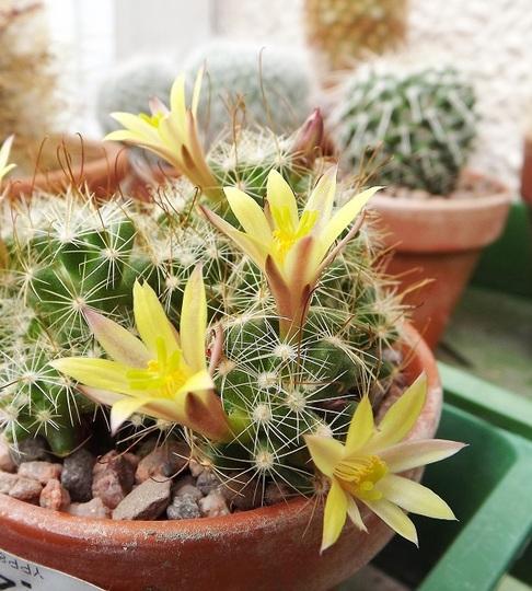 Mammillaria surculosa