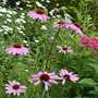 Echinacea paradoxa (Echinacea paradoxa)