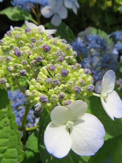 Summer Lace hydrangea (hydrangea H. macrophylla)