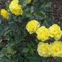 Rosa - Korresia