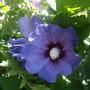 Hibiscus syriacus 'Blue Bird' (Hibiscus syriacus 'Oiseau Bleu')