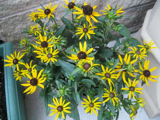 Rudbeckia..'Little gold Star'