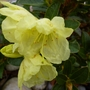 Curlew_rhodendron