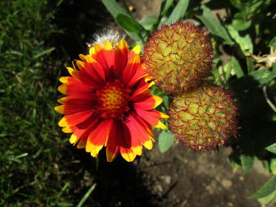 Blanket Flower  (gaildardia)