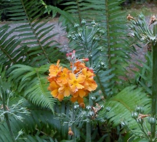 Last bloom = Primula japonica (primula japonica)