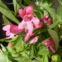 For catalogue....Penstemon 'Pinacolada Rosy Red' (Penstemon barbatus (Beardlip penstemon))