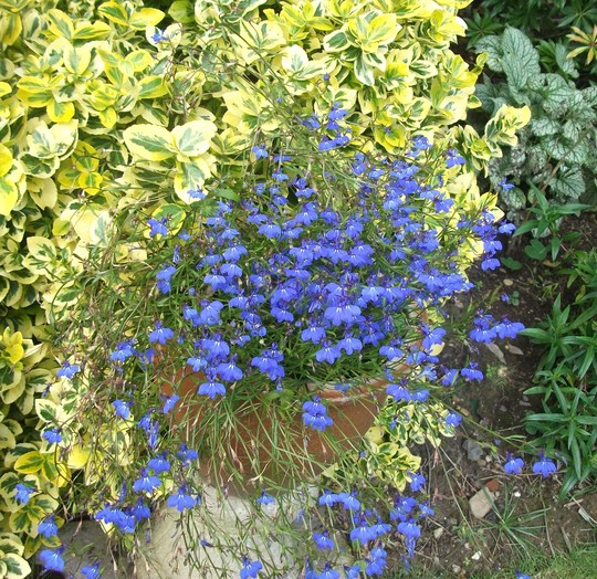 Lobelia Sapphire (Blue Basket) this again self seeded it self from last year. (Lobelia Sapphire (Blue Basket))