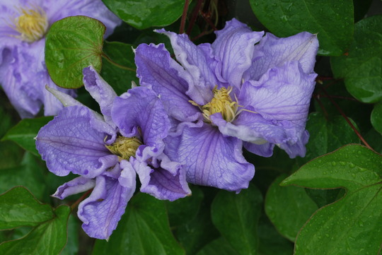 Clematis Will Goodwin for my records... (Clematis Will Goodwin)
