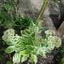 Sedum telephium 'Autumn Charm' (Sedum telephium (Sedum))