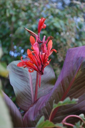 Canna  Indica Russian Red ... (Canna indica (Russian Red.)