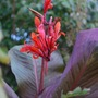 Canna indica (Russian Red.