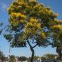 Peltophorum pterocarpum - Yellow Poinciana Flowering (Peltophorum pterocarpum - Yellow Poinciana)