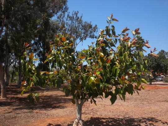 Ficus benghalensis - Indian Banyan Tree (Ficus benghalensis - Indian Banyan Tree)