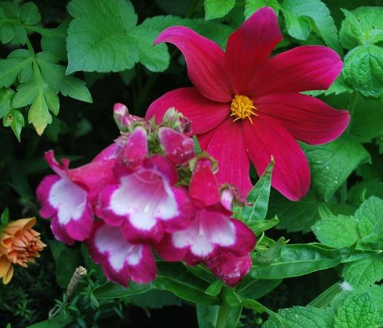 Dahlia coccinea Great Dixter with Penstemon... (dahlia coccinea..)