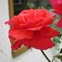 Res_rose