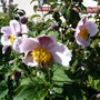 Anemone hupehensis 'September Charm' (Anemone hupehensis (Japanese anemone))