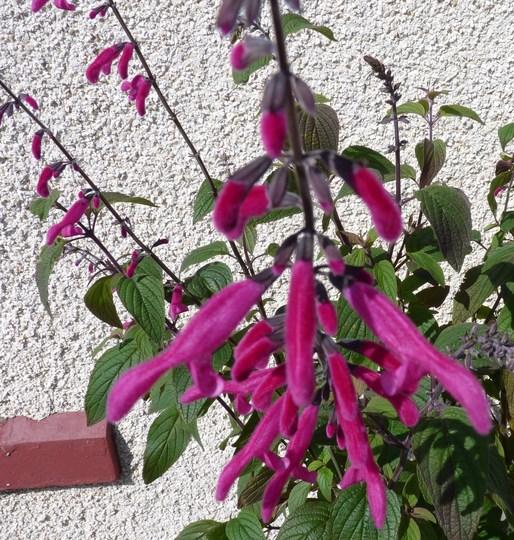 Salvia curviflora 'Tubular Bells' (Salvia curviflora)