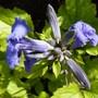 Clematis heracleifolia 'Cassandra' (Clematis heraclefolia)