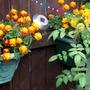marigold always make a colourfull pot