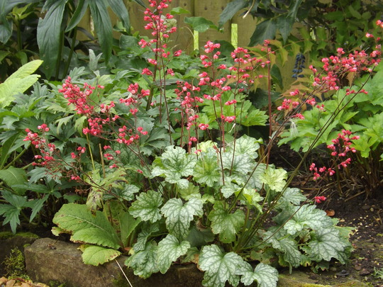 Heuchera Paris (Heuchera 'Paris')