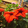 Red_petunias