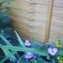 Spiderwort_plant
