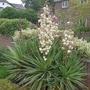 Yucca gloriosa 'Variegata' - 2014 (Yucca gloriosa 'Variegata')