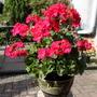 Pelargonium_red_aug_2014