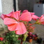 Pelargonium Apricot Aug 2014