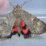 Red Underwing Moth Catocala nupta.