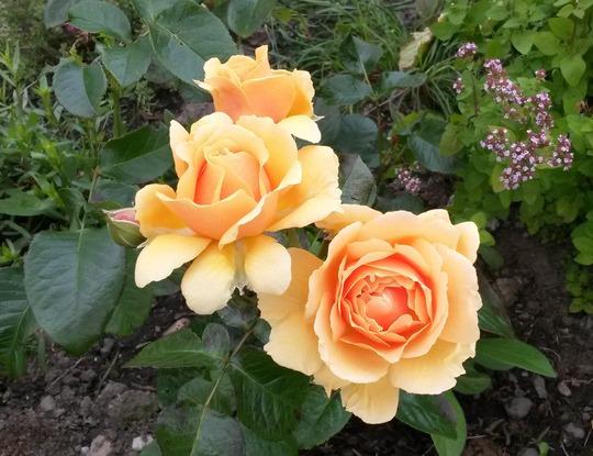 Rosa 'Salvation' (Rosa 'Salvation')