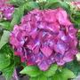 Hydrangea_macrophylla_hot_red_violet_