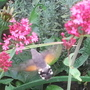 Hummingbird Hawkmoth   more pic's in my blog