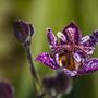 Tricytris formosana 'Dark Beauty' (Tricyrtis formosana (Toad Lily))