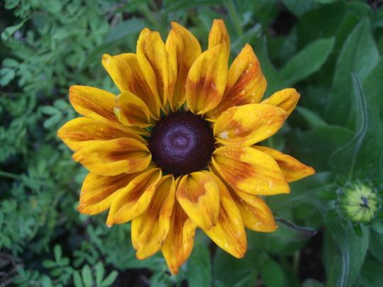 Rudbeckia 'Summerina' (Rudbeckia)