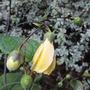 Kirengeshoma palmata, brightens up a shady corner. (Kirengeshoma palmata (Kirengeshoma))